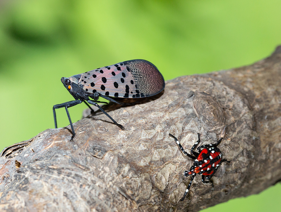 spotted lanternfly adult and nymph